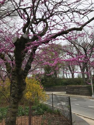 Central Park na primavera